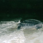 leatherback-returns-to-the-ocean.jpg