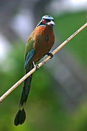 blue-crowned-mot-mot