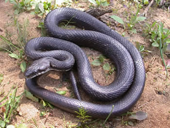 the black rat snake
