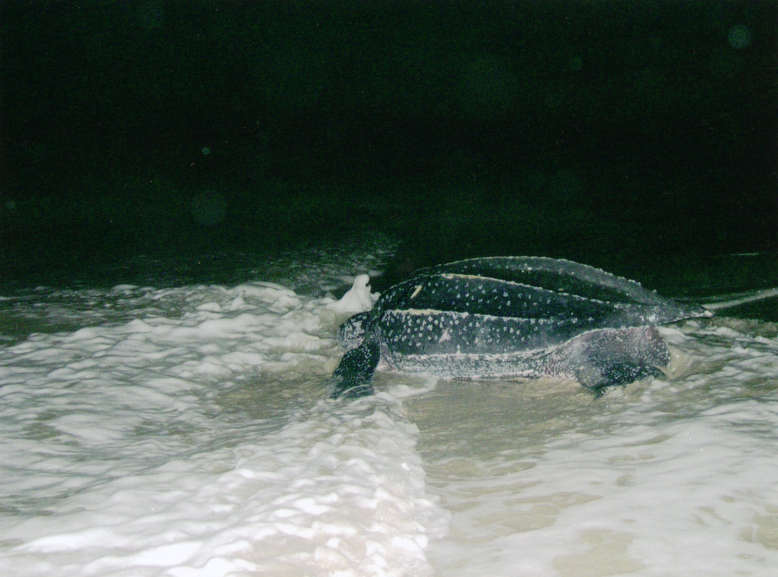 Leatherback returns to the ocean