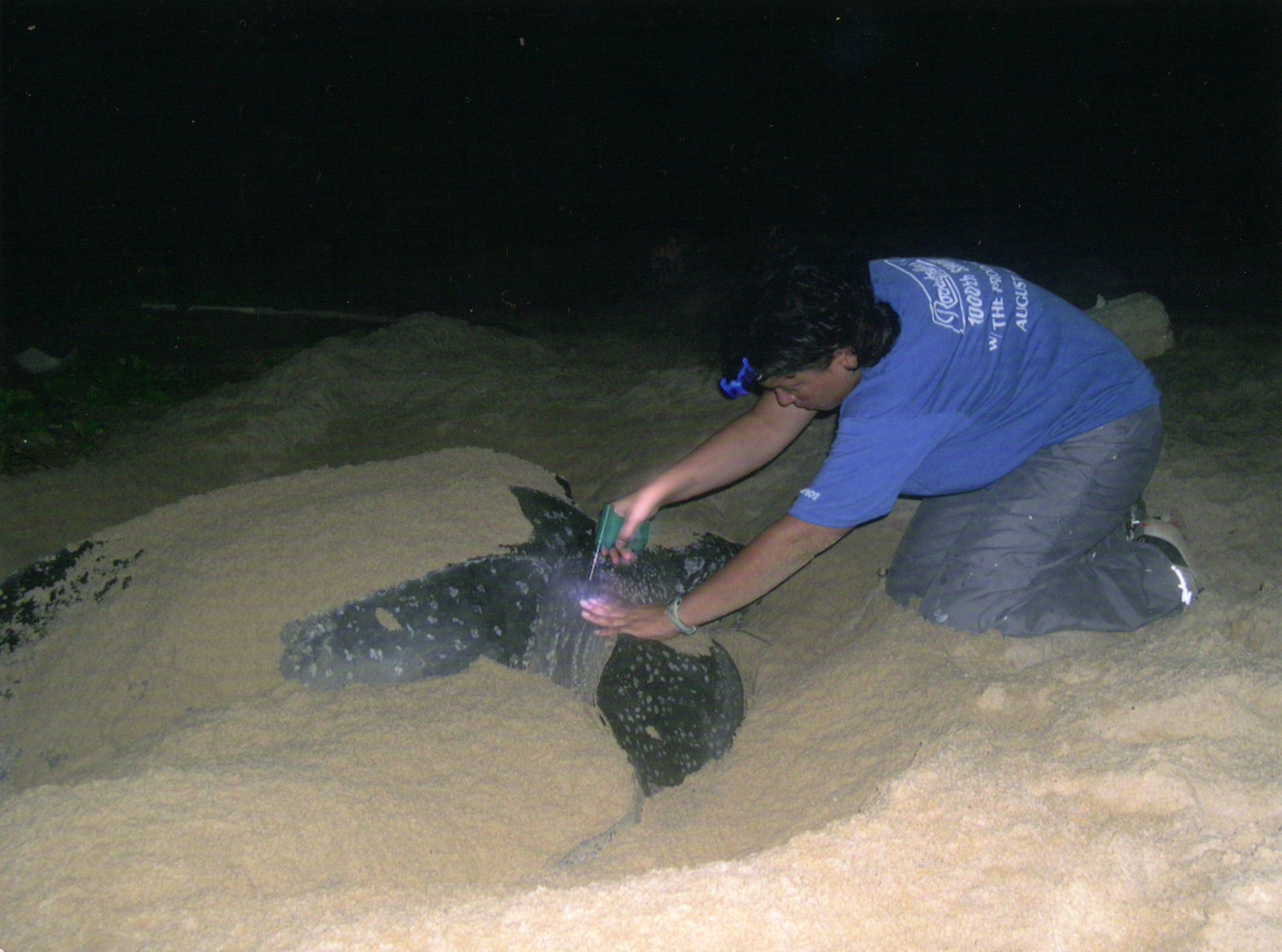 Micro-chipping a leatherback turtle.